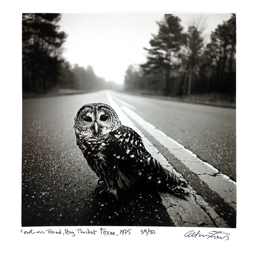 Owl on Road